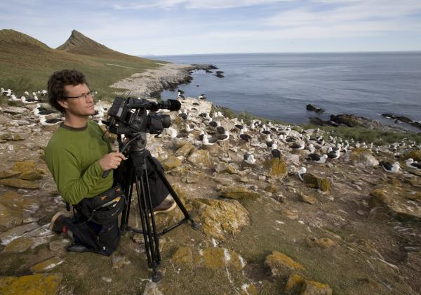 Black Browed Albatross rookery - Falkland Islands